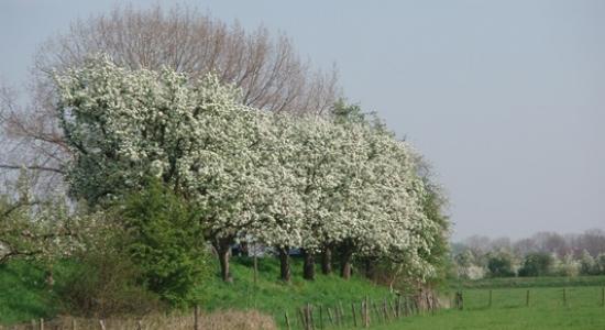 Bloeiende fruitbomen, Appeldijk