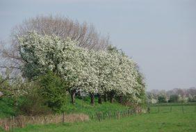 Bloeiende fruitbomen langs de Appeldijk