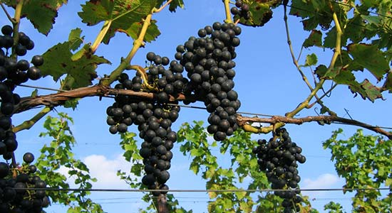 errekomsepad_wijngaard-betuws-wijndomein