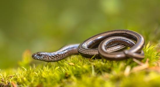 Shutterstock Hazelworm